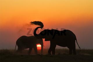Afrikanische Elefanten (Loxodonta africana) im Sonnenuntergang am Chobe Fluss, Chobe-Nationalpark, Botswana, Afrika, African Elephants at sunset, Chobe River, Chobe NP, Africa