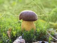 penny bun fungus