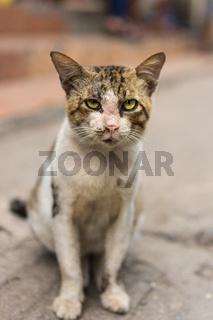Rough looking Asian street cat.