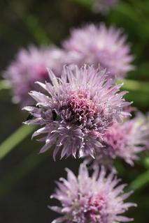 Allium schoenoprasum, Schnittlauch, Chive