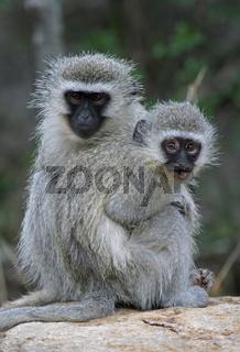 Grünmeerkatze, vervet monkey, Chlorocebus, Südafrika