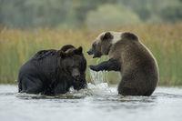 zwei im Wasser... Europäische Braunbären *Ursus arctos*