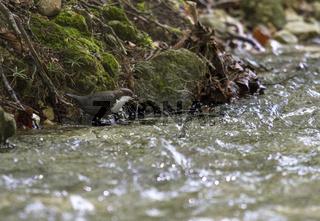 Wasseramsel im Königstein-Gebirge, Rumänien