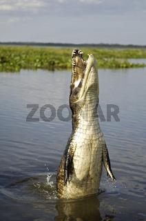 Springender Kaiman, Brillenkaiman, Caiman crocodylus yacare, Pantanal, Brasilien
