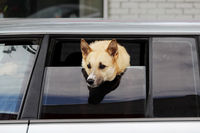 dog of Laika breed looks out of the half-open window of the car in anticipation of the owner.