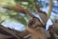 Capuchin monkey, Maranhao state, Brazil