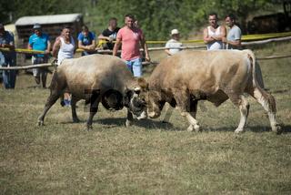 Stierkampf in Bosnien