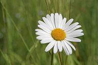 Blüte einer Margerite