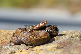 Vipera berus standing on a stone in natural habitat ( Common crossed european adder )