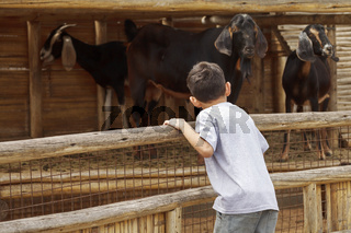 Small young boy looking at the goats over the fence