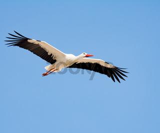 Flying white stork with blue sky