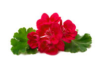 Pelargonium flower isolated on white background