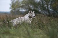 im Sprung... Königstiger *Panthera tigris*