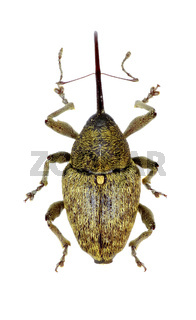 Acorn Weevil on white Background  -  Curculio glandium (Marsham, 1802)