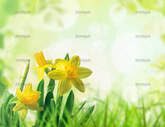 Daffodils in spring grass