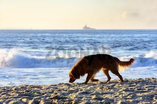 Dog walking at beach sunrise