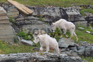 Schneeziegen  Mountain Goat Glacier National Park