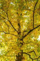 Ahorn-Baum im Herbst