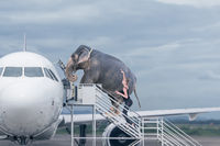 Woman loading elephant on board of plane