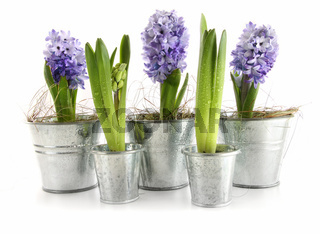 Purple hyacinth in aluminum pots on white