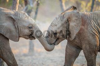 Two Elephants playing.
