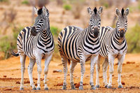 Steppenzebras, Südafrika, Kruger Nationalpark, South Africa, Plains Zebras, South Africa