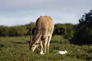 Common Eland grazing, Addo Elephant National Park