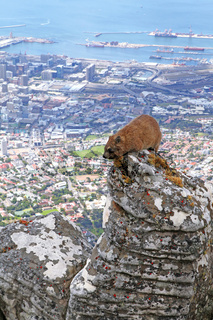 Klippschliefer, oben am Rand des Tafelbergs, blickt hinab auf das wundervolle Kapstadt, Südafrika, Dassie, at the edge of Table Mountain, overlooking beautiful Cape Town, South Africa