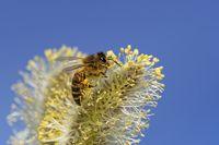Biene im Weidenkaetzchen