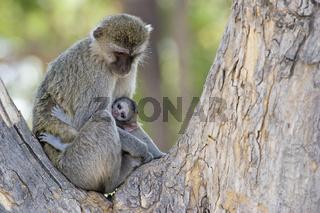 Gruene Meerkatze, Gruenmeerkatze (Chlorocebus) mit Jungtier, in einem Baum, Moremi National Park, Okavango Delta, Botswana, Afrika, Chlorocebus, vervet monkey or green monkey, Africa