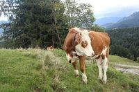 junge Kuh auf der Almweide