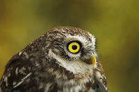 portrait of cute little owl over out of focus background ( european nocturnal bird of prey