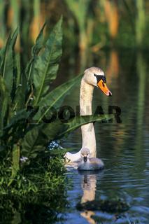 Hoeckerschwan, das Weibchen bebruetet die Eier  -  (Foto Hoeckerschwanfamilie)