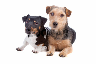 Jack Russel Terrier and mixed breed dog