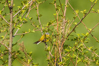 Yellow wagtail sitting on a branch in a tree