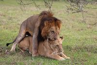 sich paarende Löwen