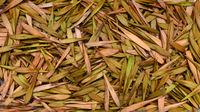 ash tree seeds texture