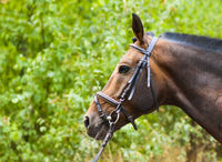 Portrait of a thoroughbred chestnut horse