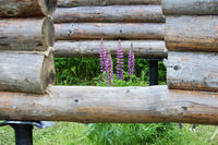 Assembling a wooden frame and building a house. Russia. Texture of old wooden logs, purple lupine and holes for the future door.