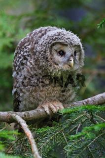 Habichtskauz - Jungvogel, Strix uralensis, Ural owl - squab