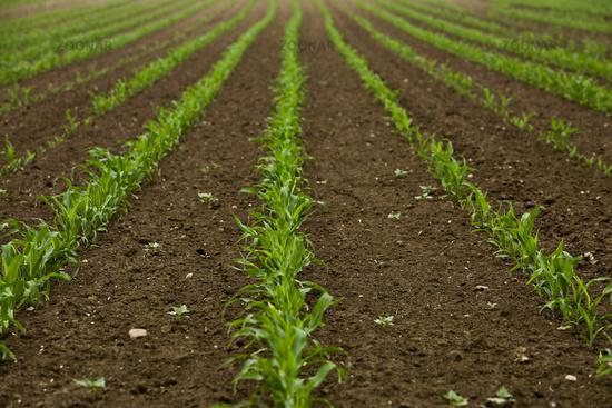 Maisfeld im frühling / maize field in springtime