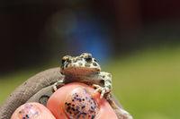 cute european green toad standing on woman foot ( Bufotes viridis )