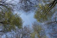 Blick zum blauen Himmel... Baumkronen im Frühling *Fagus sylvatica*