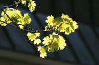 Young buds of the maple bloom in the spring