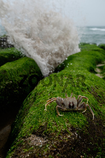Crab Ocypode ceratophthalmus in laomei, Taiwan