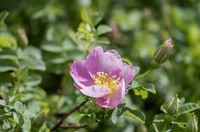 Heckenrose oder Hundsrose (Rosa canina)