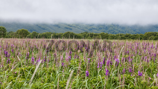 Flora of Kamchatka. Forests and fields. Nature of Kamchatka. Lan