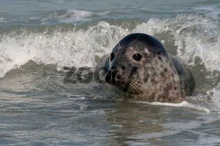 Seehund , Phoca vitulina, Harbour Seal, Sandseal