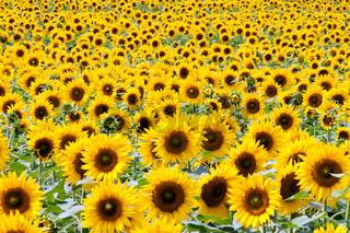 Sonnenblumen in leuchtendem Gelb