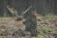 Indischer Uhu... Bengalenuhu *Bubo bengalensis* im Flug durch den Wald